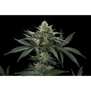 Dinafem Roadrunner #2 female Seeds