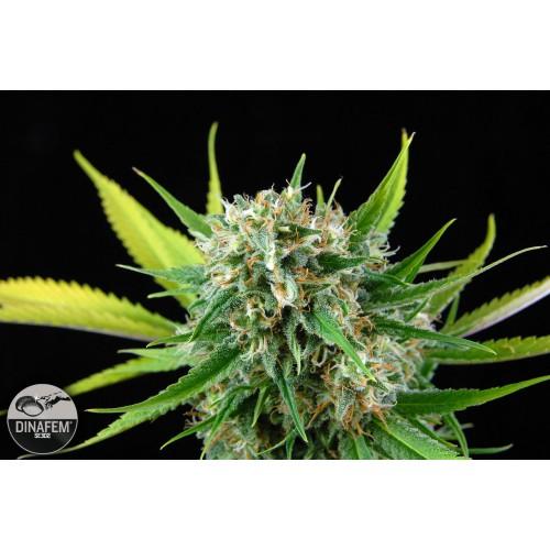 Dinafem Royal Haze female Seeds