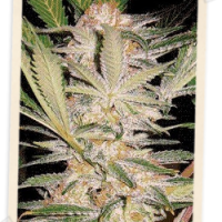 Sweet Seeds S.A.D. Auto female Seeds