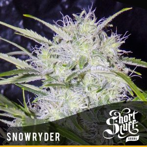 shortstuff seeds Super Cali Haze female