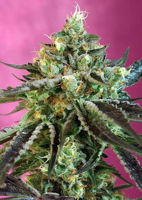Sweet Seeds Sweet Nurse Auto CBD female seeds