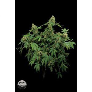 Dinafem Santa Sativa female Seeds