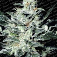 Paradise Seeds Sensi Star female