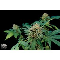 Dinafem Shark Attack female Seeds