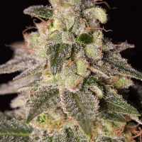 Dinafem Shark Shock CBD female Seeds