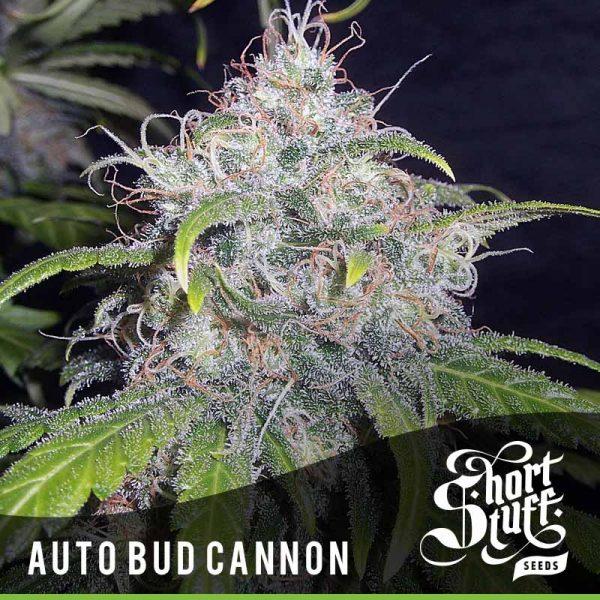 shortstuff seeds Auto Bud Cannon female