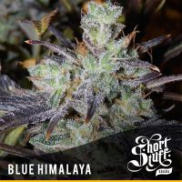 shortstuff seeds Blue Himalaya female
