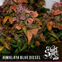 shortstuff seeds Himalaya blue diesel female
