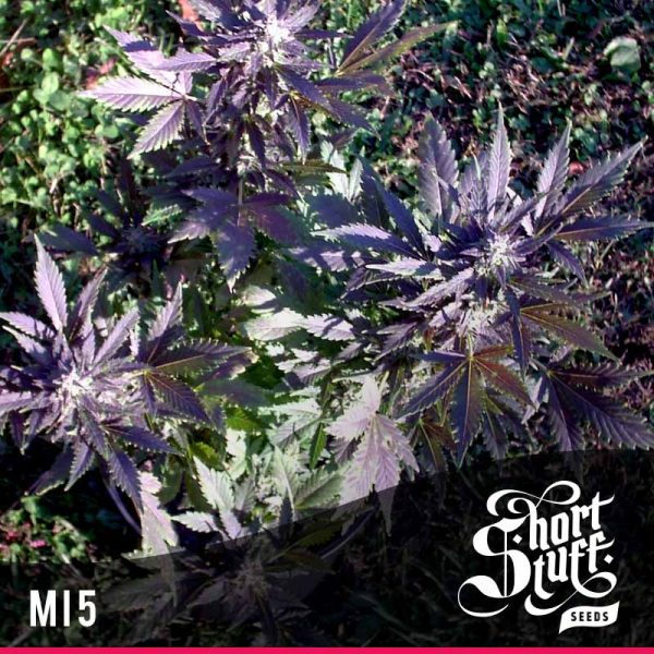 shortstuff seeds Mi5 female