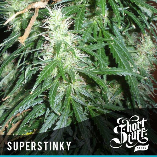 shortstuff seeds short stuff #1 female
