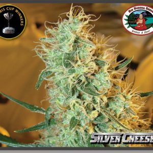 Big Buddha Seeds Silver Cheese female Seeds