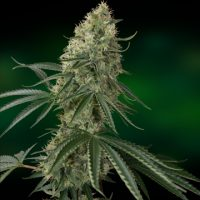 Barney's FarmSin Tra Bajo Auto female Seeds