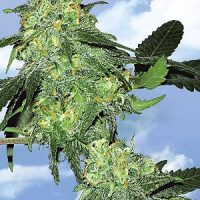 Flying Dutchmen Skunk Classic female Seeds