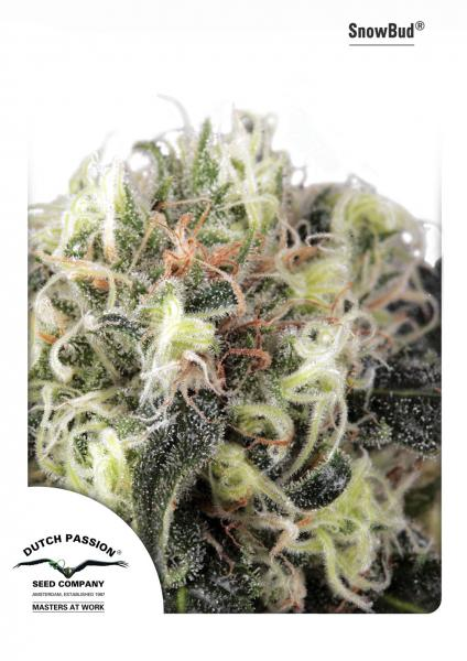 Dutch Passion Snow Bud female Seeds