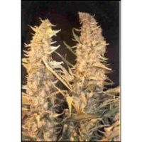 Female seeds company Skunk Special seeds
