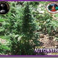Big Buddha Seeds Buddha Haze Automatic female Seeds