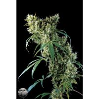Dinafem Super Silver female Seeds