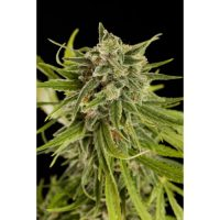 Dinafem Sweet Deep Grapefruit female Seeds