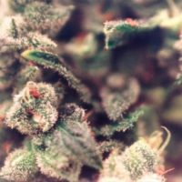 Female seeds company Sweet Soul female Seeds