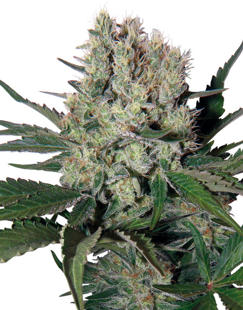 Buddha Seeds Syrup Auto female Seeds