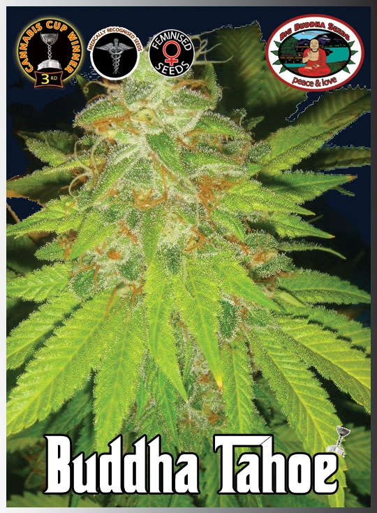Big Buddha Seeds Tahoe female Seeds