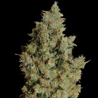 Barney's Farm Tangerine Dream female Seeds