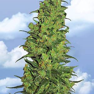 Flying Dutchmen Temple Haze female Seeds