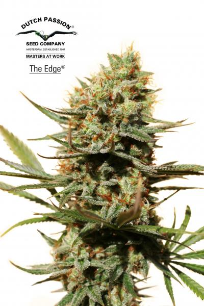 Dutch Passion The Edge female Seeds