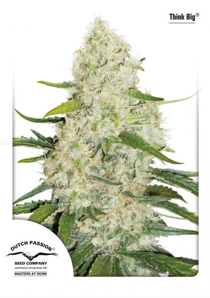 Dutch Passion Auto Think Big female Seeds
