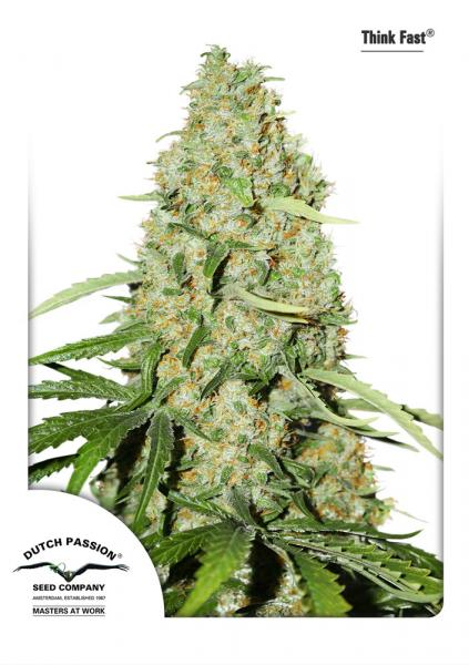 Dutch Passion Think Fast female seeds