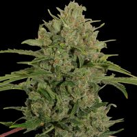 Barney's Farm Triple Cheese female Seeds