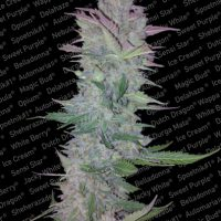 Paradise Seeds Vertigo Automatic female