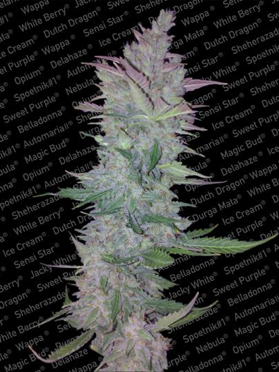 Paradise Seeds Vertigo Automatic female