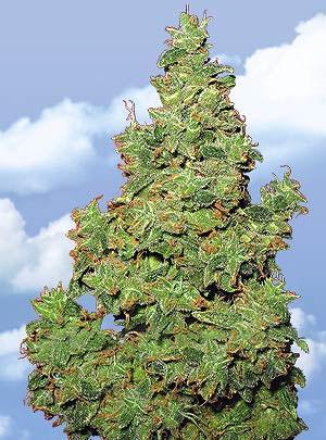 Flying Dutchmen Voyager female Seeds