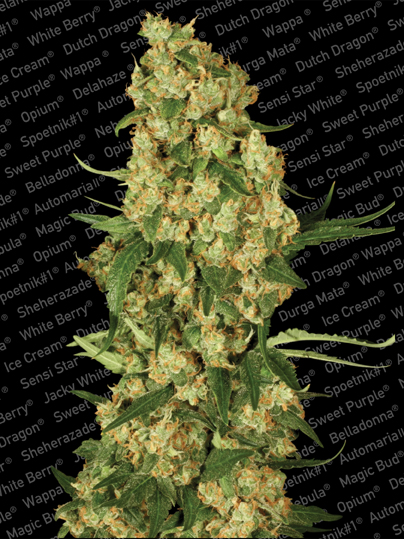 Paradise Seeds Wappa female