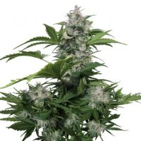 Buddha Seeds White Dwarf Auto female Seeds