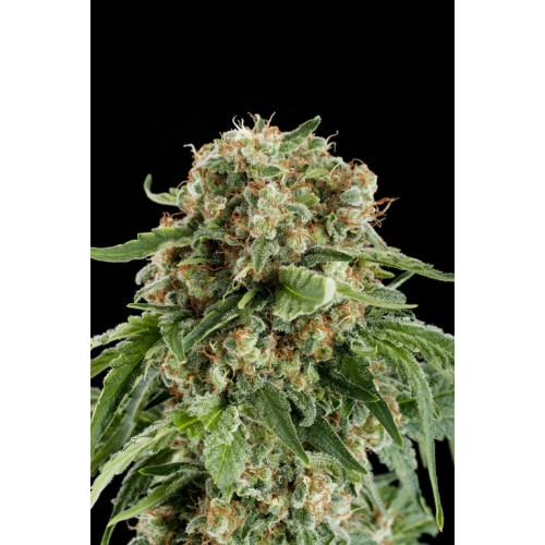 Dinafem White Siberian female Seeds