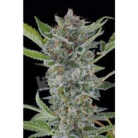 Dinafem White Widow Automatic female Seeds
