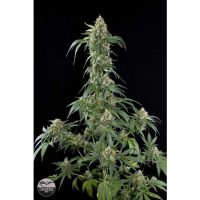 Dinafem White Widow female Seeds