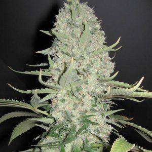 Female seeds company White Widow x Big Bud Seeds