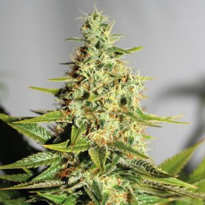 Barney's Farm Acapulco Gold female Seeds