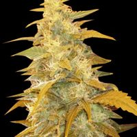 World of Seeds Afghan Kush female Seeds