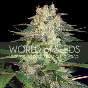 World of Seeds Afghan Kush Ryder Autoflowering female Seeds