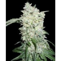 World of Seeds Afghan Kush SPECIAL female