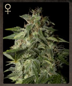 Strain Hunters Afgooey female Seeds