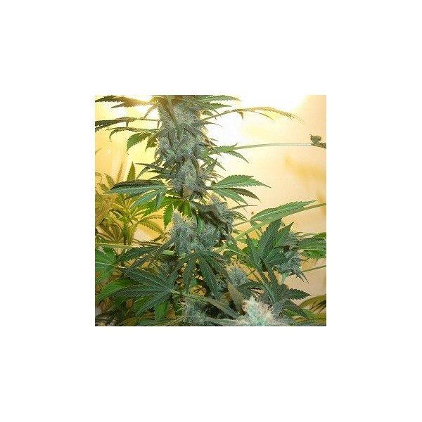 Nirvana Seeds AK48 female Seeds