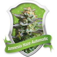Royal Queen Seeds Amnesia Haze Automatic female Seeds