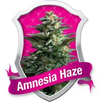 Royal Queen Seeds Amnesia Haze female Seeds