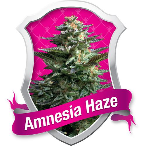 Royal Queen Seeds Amnesia Haze female Seeds