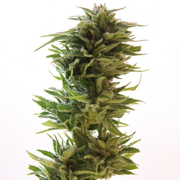 Barney's Farm Amnesia Lemon female Seeds